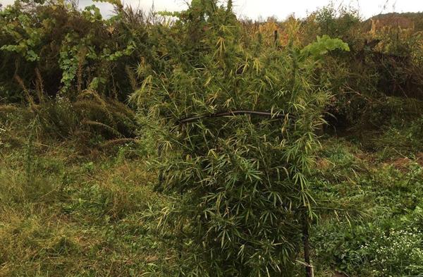 foto cannabis 4